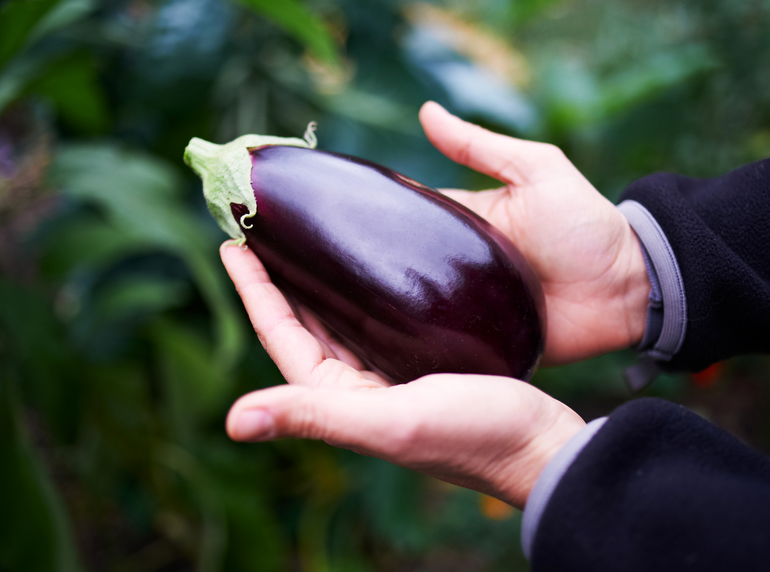 hands holding eggplant in garden lifestyle agriculture